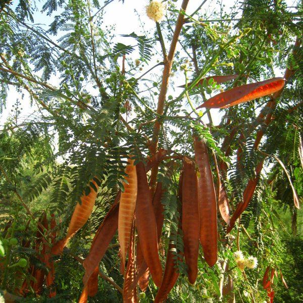豆科の植物